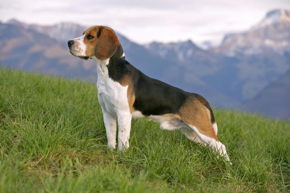 s'occuper d'un beagle
