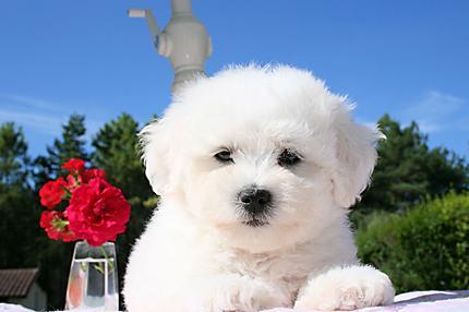 races de chiens les plus gentilles