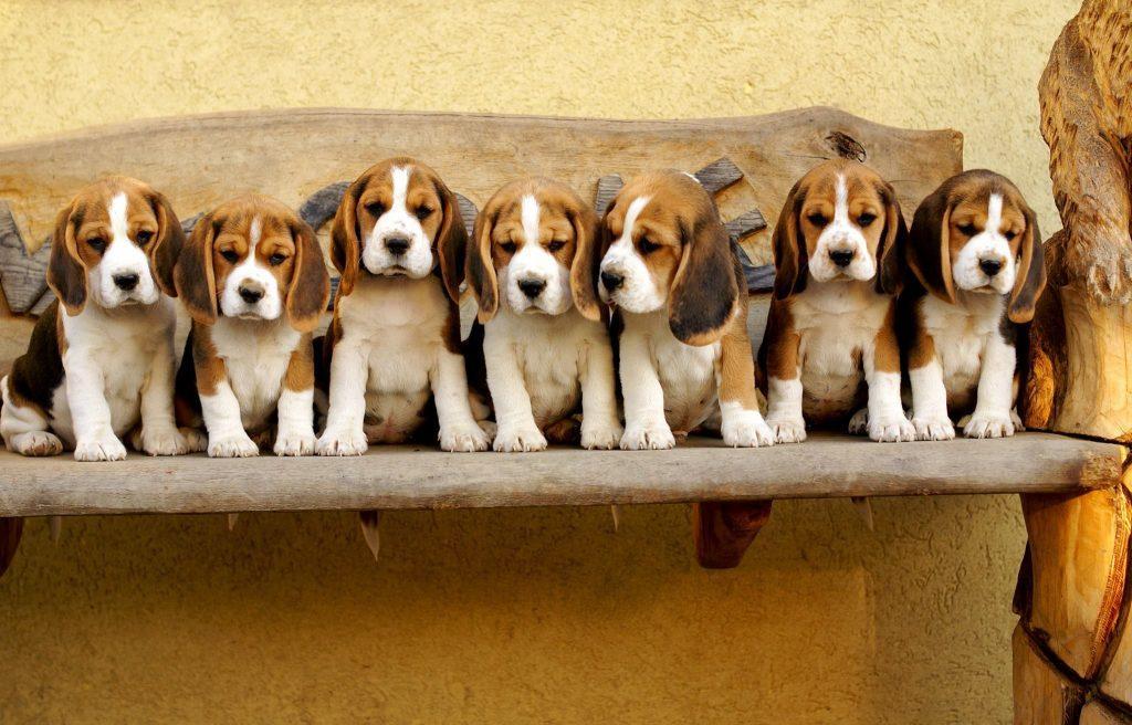 S 39 occuper d 39 un beagle est facile si on tient compte de son - Couper les griffes d un chiot ...