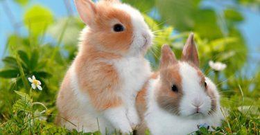 durée de vie du lapin nain