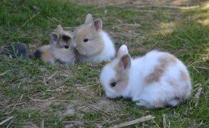 famille de lapins nains