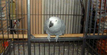 Cage du Gris du Gabon