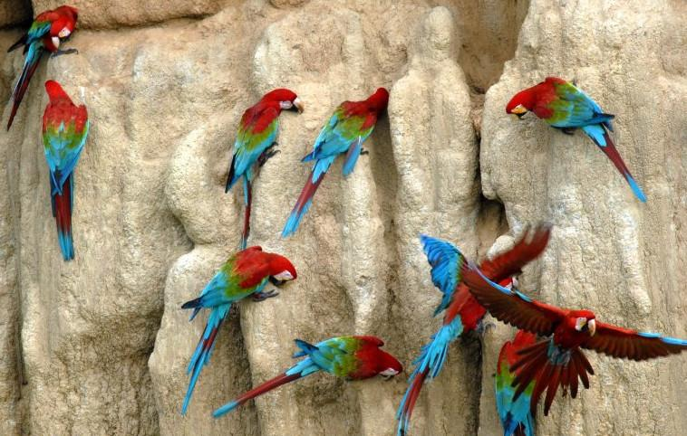 aras sauvages