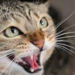 chat qui feule