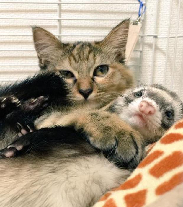 furet et chat se câlinent