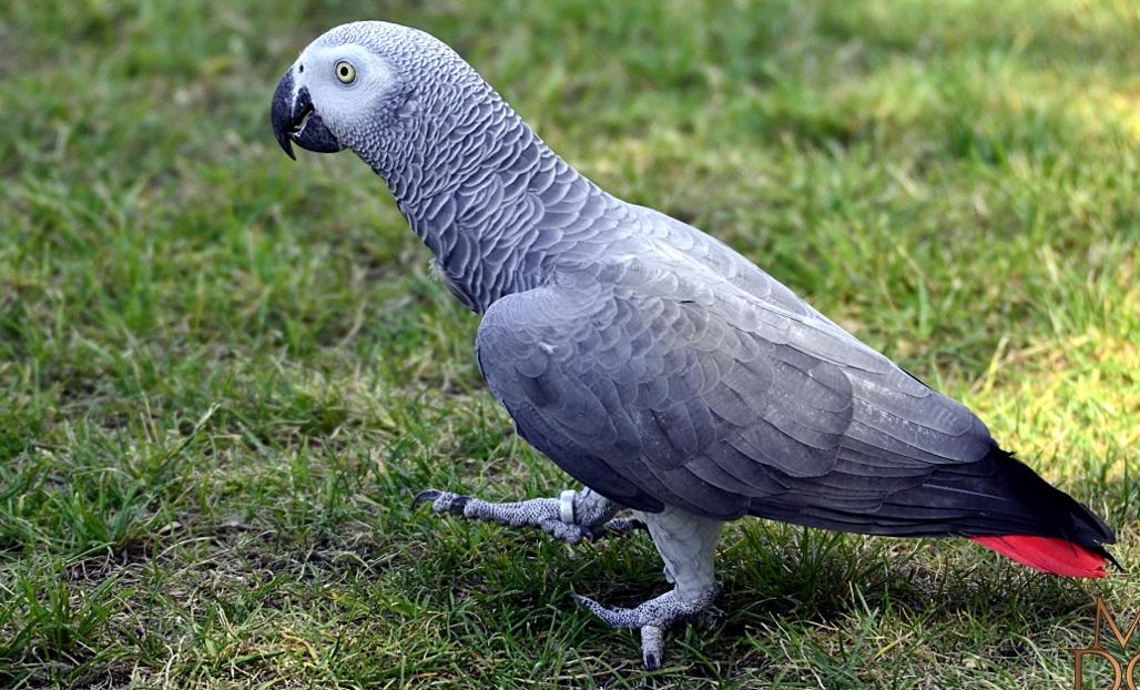 gris du Gabon qui marche