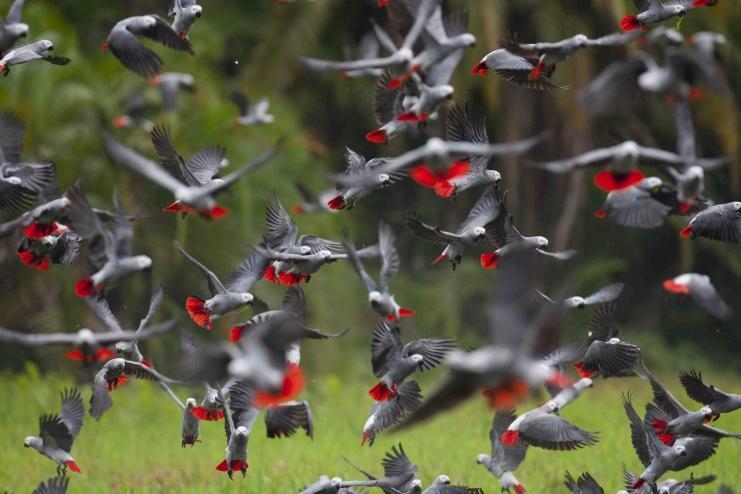 gris du Gabon qui volent par dizaines