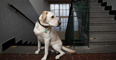le labrador peut-il vivre dans appartement