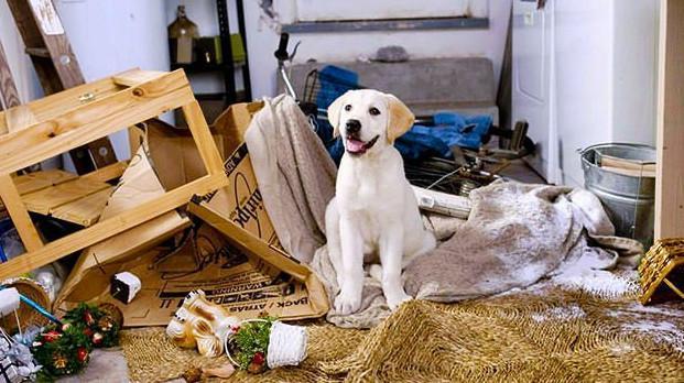 le labrador peut-il vivre dans un appartement