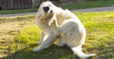 chien qui se gratte